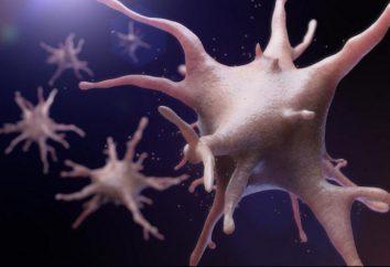 Komórki dendrytyczne: charakterystyka, funkcja, rola ochrony przeciwbakteryjnej. Komórki dendrytyczne przed rakiem