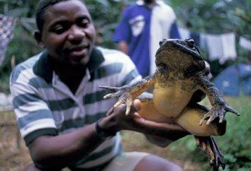 Goliath – il più grande rana nel mondo