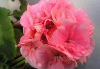 Rośliny Ojczyzna geranium i popularne formy kwiat