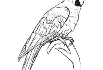 Jak rysować ptaki krok po kroku za pomocą ołówka. Jak narysować piórko ptaka. Jak narysować ptaka podajnika lub ptaka na gałęzi