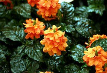couleurs Accueil: Crossandra. Description, l'élevage et les soins