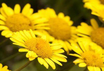 Cota tinctoria: description, caractéristiques et propriétés médicinales des plantes