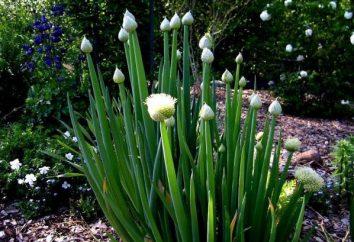 cipolla gallese: semina prima dell'inverno. La coltivazione, la semina e la distillazione di cipolle a lungo termine batun