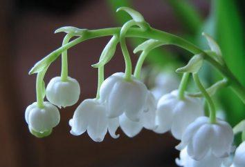 Cień kwiaty ogrodowe: konwalia, gospodarze, Astilbe