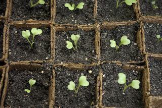 Stecklinge von Blumenkohl: wachsen zu Hause