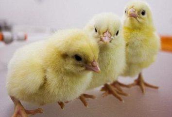 Les poulets – quoi nourrir? apprendre