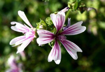 Malva: semina e cura fiore