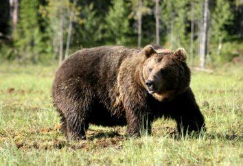 Brown Bear: krótki opis, waga, wielkość. Zwyczaje niedźwiedzia brunatnego