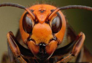 A hornet asiático onde habita eo perigo para os outros?