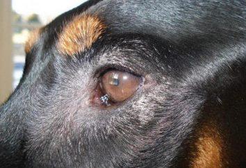 Opis, przyczyny, objawy i leczenie zapalenia spojówek u psów