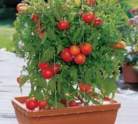 """Tomate """"Dubrava"""": avis. variétés Caractéristiques"""