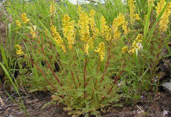 Corydalis – fiore. Descrizione e foto. fiori di bosco