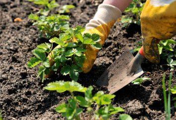 A continuación, puede poner las fresas? ¿Qué tipo de suelo ama las fresas? Cómo plantar fresas en la primavera?
