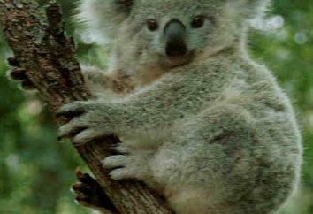 Da dove viene il koala, descrizione e le caratteristiche di questo animale