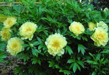 peônias amarelas finas – uma criação perfeita da natureza