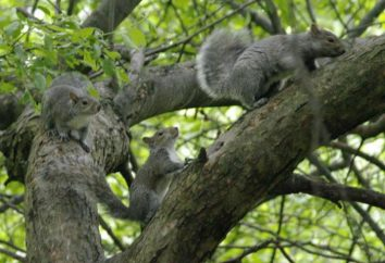écureuil gris et son habitat