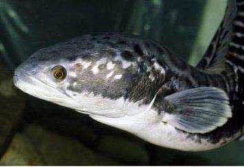 Snakehead – ryby, które jest łatwe do przenoszenia drogą lądową