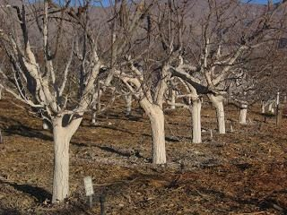 Whitewashing di alberi in primavera: la composizione di calce
