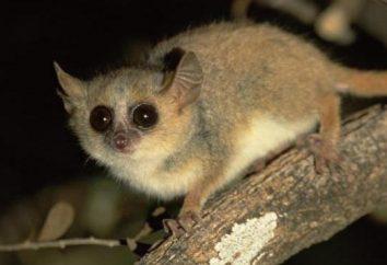 Cheirogaleidae: Descrizione
