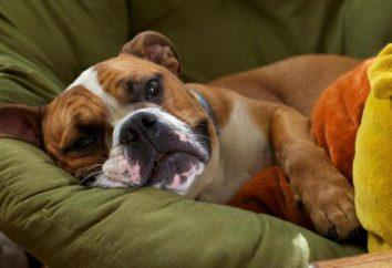 Udar mózgu u psów: Przyczyny i pierwsza pomoc