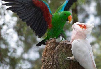 Parrot – jasny egzotyczne ptaki. Ile gatunków papug istnieć na świecie?