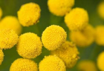 Tanaceto ad un ritardo delle mestruazioni. Herb tansy – proprietà
