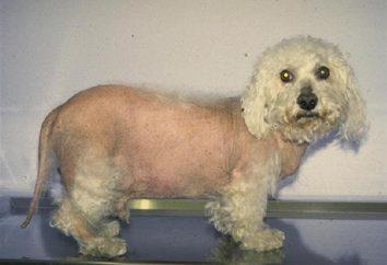 Zespół Cushinga u psów: Objawy i leczenie. Zespół Cushinga u psów: jak żyć?