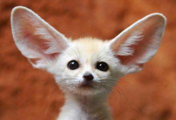 Opuszczony lis lisa. Fox Eared Fox jako zwierzak