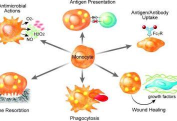 Zellen Makrophagen. Was es ist und was sie haben Funktionen