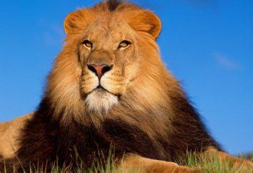 Kto może pokonać lwa? Tygrys i niedźwiedź są wartymi przeciwnikami