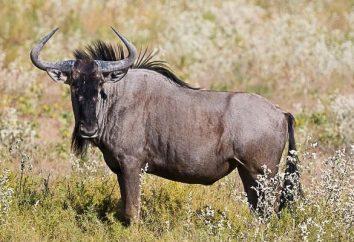 Analogie e differenze tra animali della stessa specie: gnu, gazzelle, Garni