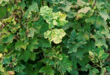 Perché le foglie diventano giallo ribes: le cause e come affrontare il problema