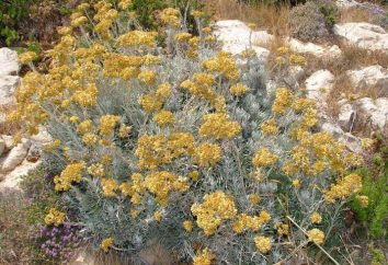 Everlasting piasek: opis rośliny wykorzystywane w medycynie ludowej
