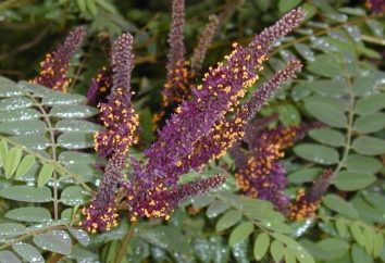 Amorpha plante fruticosa et son application en médecine