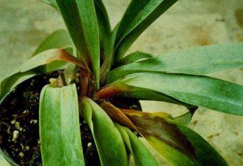 L'orchidea allevato moscerini: cosa fare e come sbarazzarsi di loro?