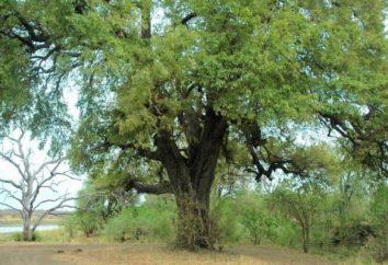 Negro de madera (ébano): propiedades y aplicaciones