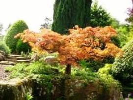 Acer japonicum – uma bela decoração em casa