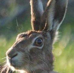 Todo el mundo sabe lo que los animales necesitan oídos móviles?