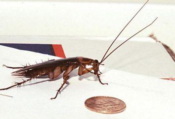 Trap per scarafaggi con le loro mani: opzioni, idee efficaci e feedback