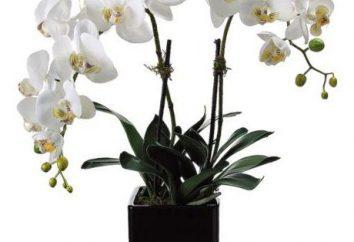Białe kwiaty orchidei: zdjęcia i opis