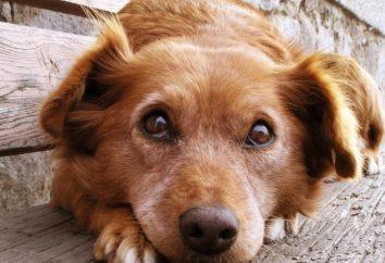 Dlaczego pies jeść odchody? Dlaczego istnieje odchody psa kota?
