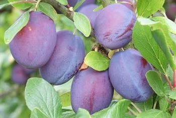 Plum Candy: una descrizione della classe, in particolare la coltivazione, recensioni