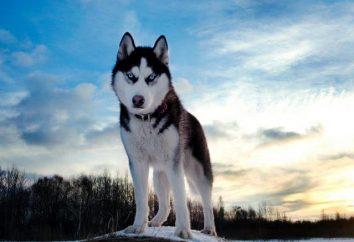Descripción de la naturaleza de la raza Husky siberiano. ¿Cómo cuidar y cómo entrenar a un perro esquimal?