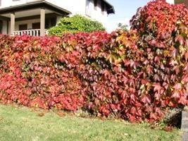 Aménagement du terrain: creepers jardin