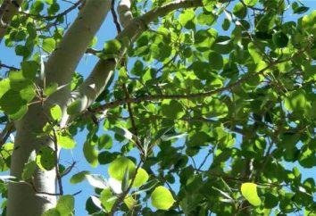 peuplier tremble (peuplier faux-tremble vulgaris): description, photo