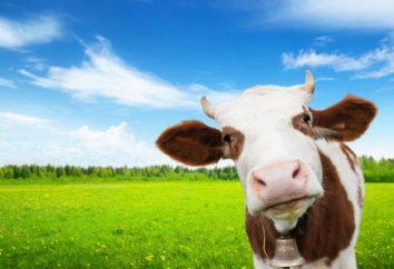 Les bovins de race à viande: des conseils sur la culture et les caractéristiques