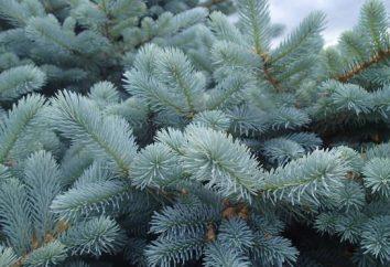 épinette bleue Barbed: la plantation et l'entretien, photo, la description, la qualité