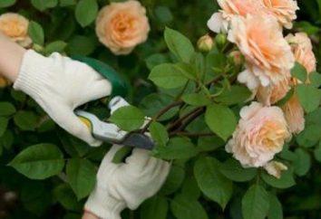 Lições jardineiros amadores como de enxertados subiu corretamente