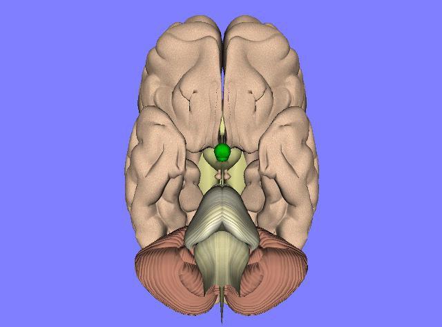 Pituitaria: hormonas y función. La glándula pituitaria y su función ...