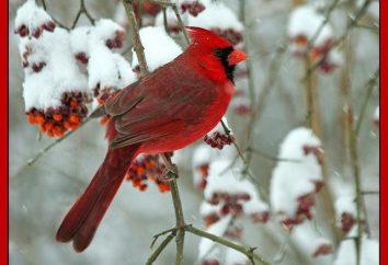 Cardeal vermelho – pequeno pássaro com plumagem brilhante e maravilhosa voz